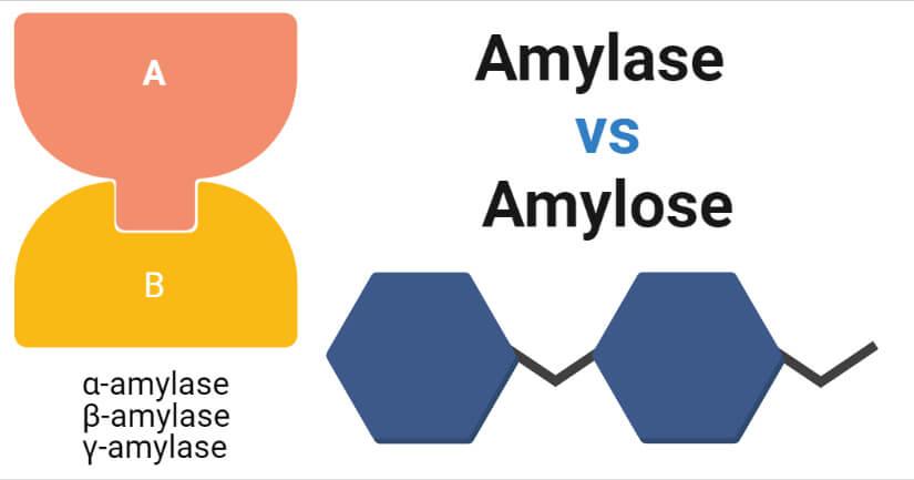 Amylase vs Amylose