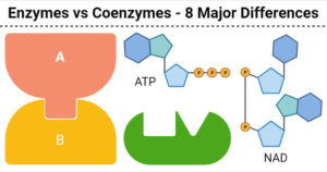 Enzymes vs Coenzymes