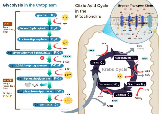Cellular Respiration- Examples of Oxidation