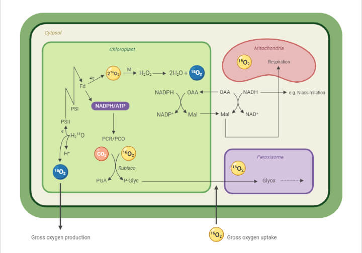 Oxygen in Photosynthesis